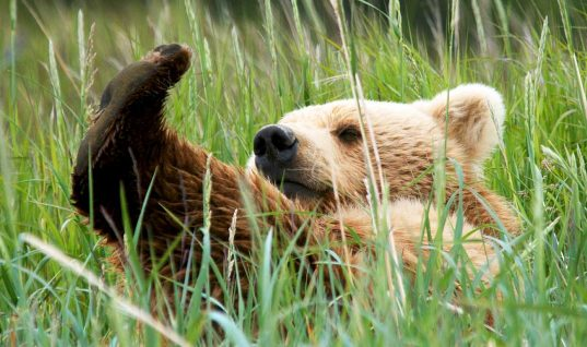 Bear Witness to This Grizzly Rolling Down a Hill