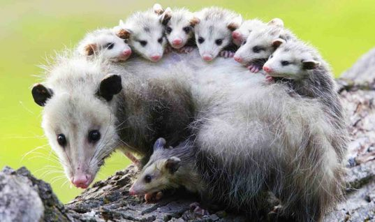 These Opossums Eating Bananas Are the Cutest Thing