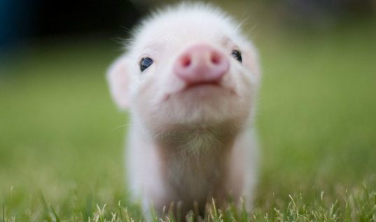 Top 4 Common Misconceptions About Teacup Pigs