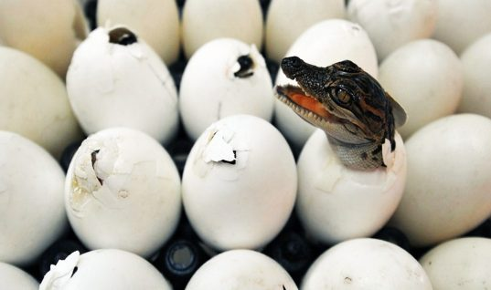 Would You Eat the Eggs From These 10 Animals?