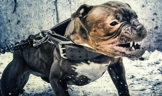 Avoid These 9 Dangerous Dog Breeds at All Costs
