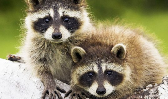 Raccoons: 10 Reasons They're Not Pet Material (Part 2)