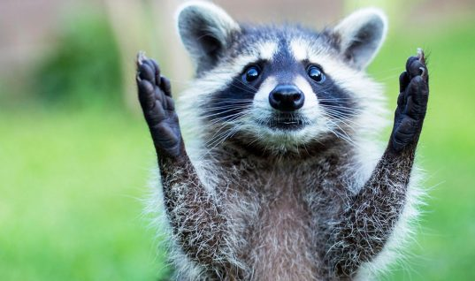 Raccoons: 10 Reasons They're Not Pet Material (Part 1)
