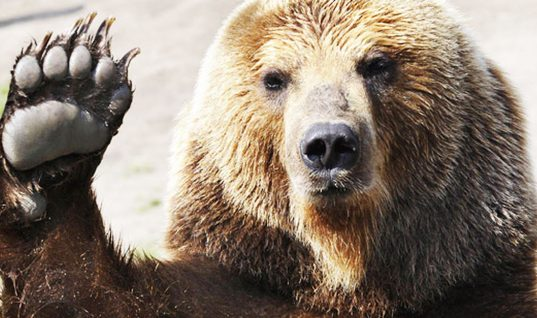 Bear Facts: 15 Amazing Things You Didn't Know (Part 2)