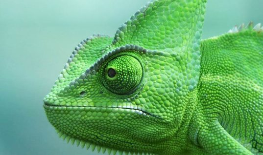 Chameleon Facts: 15 Things You Didn't Know (Part 2)