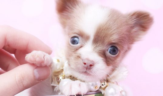 Chihuahuas: 10 Fun Facts You Didn't Know (Part 2)