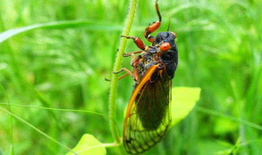 Cicada Facts: 15 Things You Didn't Know (Part 2)