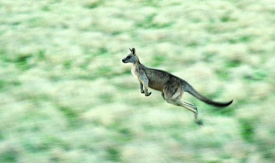Kangaroo Facts: 15 Things You Didn't Know (Part 2)