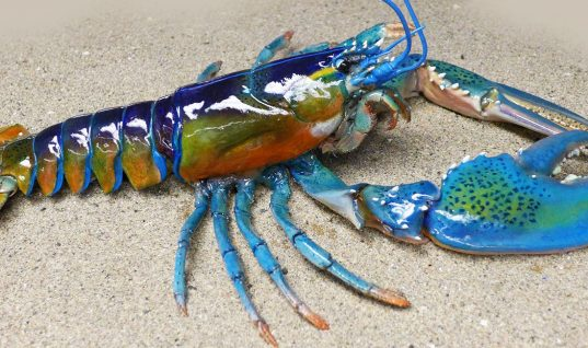 Lobster Facts: 15 Things You Didn't Know (Part 2)
