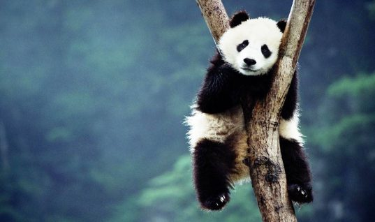 Panda Facts: 15 Things You Didn't Know (Part 1)