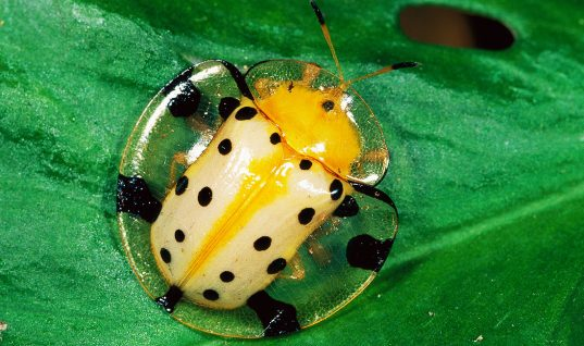 The Tortoise Beetle: 15 Ridiculous Facts (Part 1)