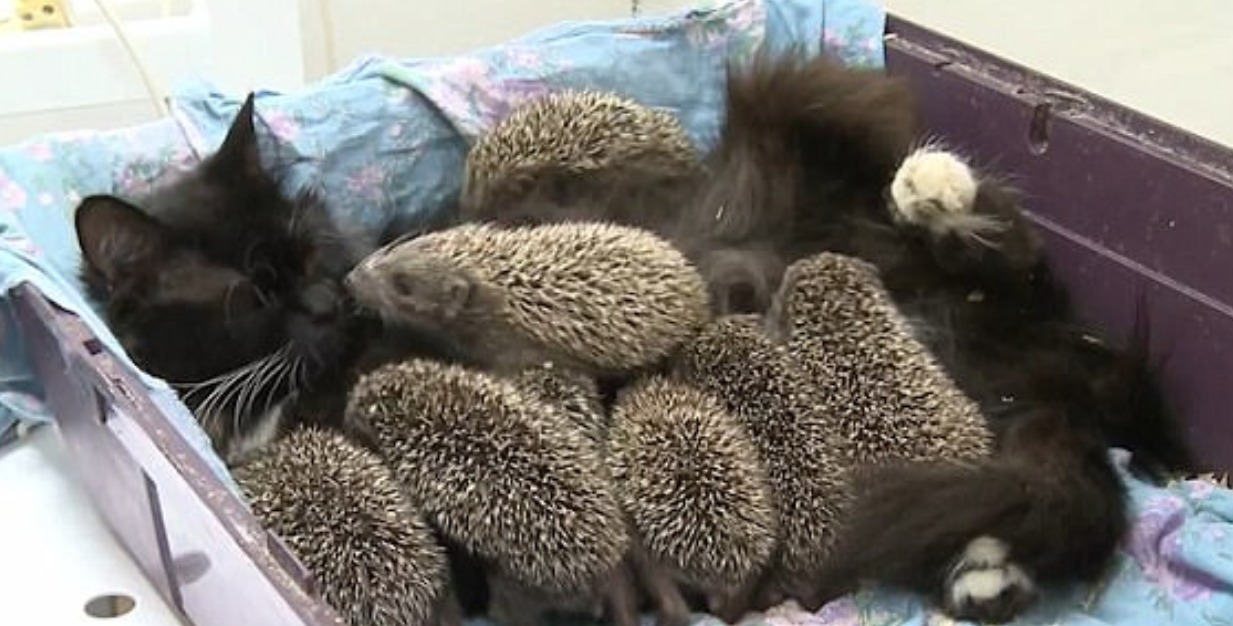 Cat Adopts Orphaned Baby Hedgehogs At Sadgorod Zoo In