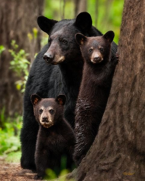When This Mother Black Bear Couldn't Reach Her Cubs In A ...