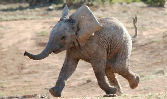 Baby Elephant Gets Lost From Pack, Luckily Rangers Are There To Help