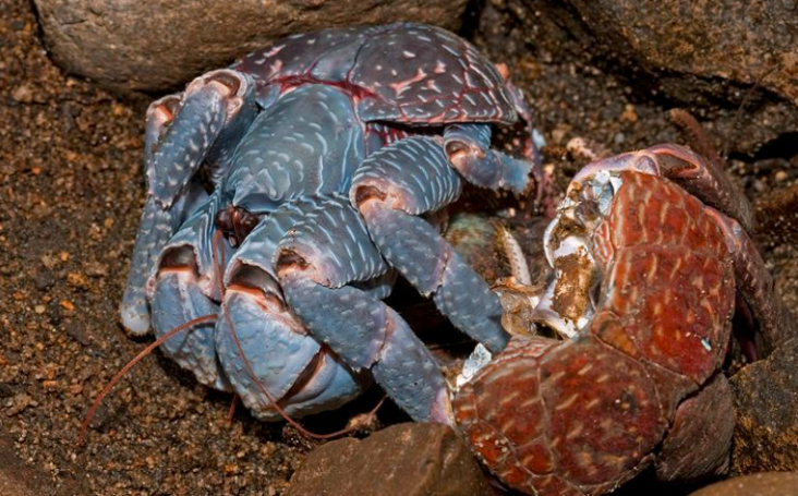 Fearless Christmas Island Native Holds Up Giant Coconut Crab With His Bare Hands | PPcorn