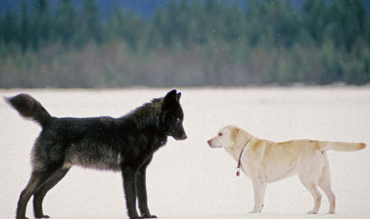 Strange Friendship Between Wild Wolf And Labrador Changes People's Lives