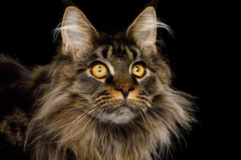 20 Gorgeous Photos That Prove Maine Coons Are The Most