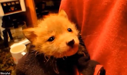 This Couple Found A Terrified Baby Fox And Nursed It Back To Health