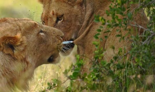 Unbelievable Act Of Love – Young Lion Pulls Tranquilizer Dart Out Of Lioness