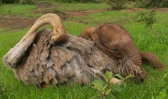 This Ostrich And Elephant Are The Cutest Cuddle Buddies Ever