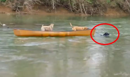 Dogs Are Trapped In Canoe That's Drifting Away, When Third Dog Comes Charging Into The River
