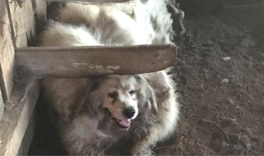 Neglected Dog Gets 35 Pounds Of Fur Shaved Off