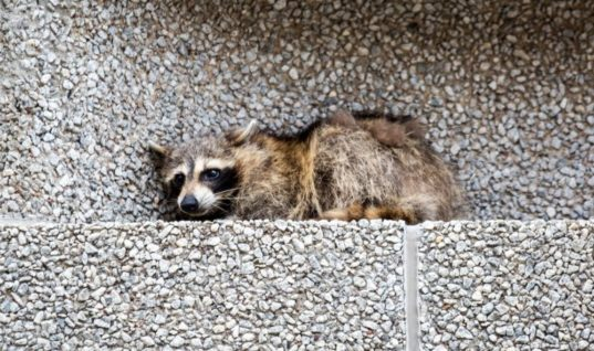 Tiny Raccoon Was Stranded On A Building For 2 Days, Until One Man Decides To Do This
