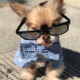 Chewie The Chihuahua Was Born With A Crooked Jaw But Now He Has Turned Into An Internet Sensation