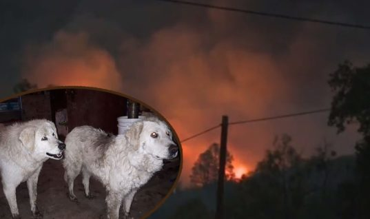Wildfire Attacked Their Farm And Owners Left The Animals Alone, But Two Brave Sheepdogs Stayed Back And Protected All The 90 Sheep