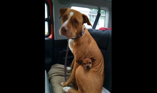 Family Decides To Adopt A Pitbull, But She Refuses To Leave The Shelter Without Her Tiny Best Friend