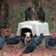 Disturbing Scenes Show Abandoned Sick Dog Left Chained And Surrounded By Hungry Vultures, Thankfully She Was Saved Just In Time
