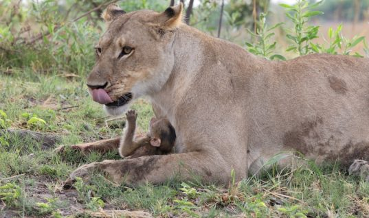 Cute Baby Baboon Falls From Tree And Immediately A Hungry Lioness Comes Running Towards Him, But What She Does Next Is Something Nobody Can Believe
