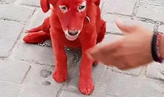 """Dog Dyed Scarlet Is Rescued By Animal Shelter From Man Who Bought Her Because """"He Liked Her Color"""""""