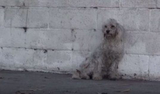Homeless Poodle Reacts In The Most Amazing Way After Being Rescued